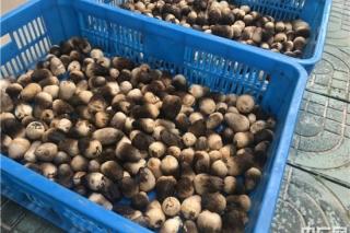 安徽望江太慈镇:草菇种植+光伏发电 打造扶贫主战场