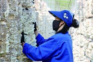 内蒙古:黑木耳进入采摘季