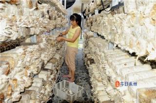 江华发展壮大食用菌产业:去年种植6000万袋 产值6亿元 ()