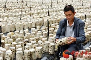 康县:黑木耳种植助农增收致富 ()