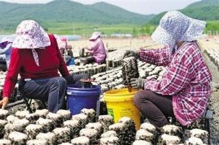黑木耳变身大产业 宁波帮扶吉林汪清县构建现代化黑木耳产业链