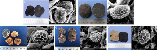 5种松露的子囊果和孢子图