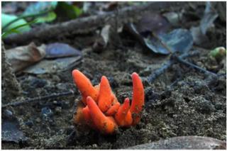 """一碰就中毒的""""致命蘑菇""""首次现身澳大利亚 此前仅在日韩出现 ()"""