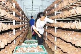 菇香幸福來,安龍大力發展食用菌產業 菌美生活好 ()