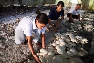 在南太平洋島上種蘑菇,既能吃又賺錢! ()