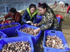 湖南炎陵:发展香菇产业帮贫致富