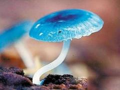 蓝蘑菇染料用于为细胞生物学家开发新的荧光工具