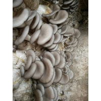 平菇菌种  平菇菌包 菌棒