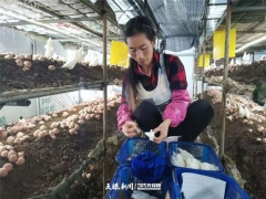 貞豐蘑菇小鎮:紅托竹蓀采摘忙 村民增收過新年