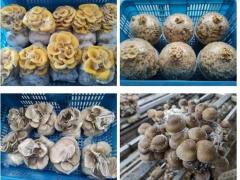20万份菌菇豆苗!上海青浦彭世菇业慷慨捐赠至抗疫一线 ()