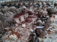 求助!香菇遇疫情滞销 种植户急寻销路 ()