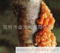供应金耳,食用菌,野生菌