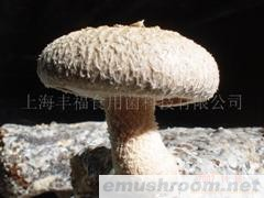 供应香菇菌床