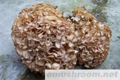 供应野生绣球菌(花びら茸)/蘑菇/野生菌/betvlctor伟德
