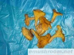 供应野生鸡油菌(图)各种野生菌鲜品、干品、速冻等