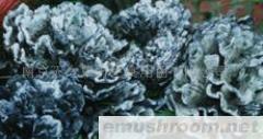 供应野生干巴菌(图)各种野生菌干、鲜、速冻等