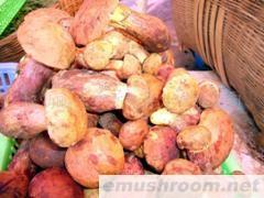 供應野生食用菌-紅蔥菌