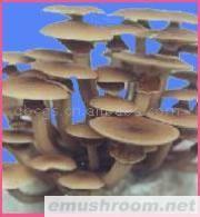 供应茶树菇(图)