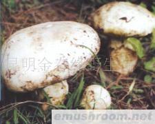 供应老人头菌,野生菌,食用菌