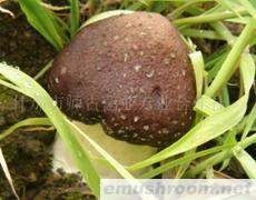 供应大球盖菇