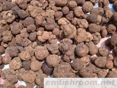 批發新鮮塊菌 出口級塊菌 內銷塊菌 國內外塊菌批發