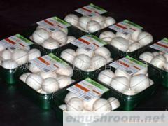 供应 优质蘑菇(A级双孢菇食用菌)