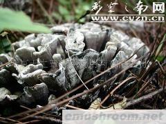 大量批发野生干巴菌、鲜品、速冻等(图)