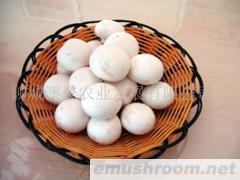 供应A级双孢菇