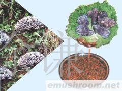 供应干巴菌,食用菌,野生菌,野生菌干片