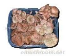 供应野生松树菇