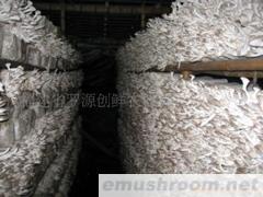 供应秀珍菇(图)