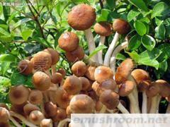 供应四川北川特产茶树菇
