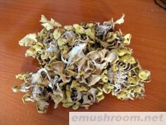 供应黄金菇