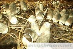 供应草菇、香菇、木耳、花菇、betvlctor伟德菌种