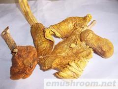 供应野生黄鸡棕菌,野生菌,食用菌,冰冻,盐渍,姬松茸鲜品