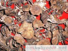 批发供应野生榛蘑