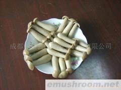 供应金福菇