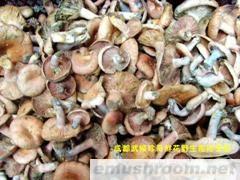 批发供应野生鲜寒菌(枞菌、松菌、重阳菌、雁鹅菌)