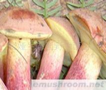 供應云南野生菌紅蔥菌凍貨