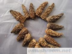 批发;羊肚菌  野生菌 土特产 松茸 虎掌菌