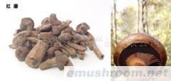 常年供应野生红蘑