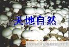 供应广州鲜蘑菇,深圳鲜蘑菇,广西鲜蘑菇(图)