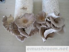 供应平菇出菇菌棒