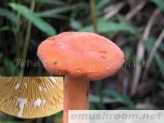 供应野生奶浆菌